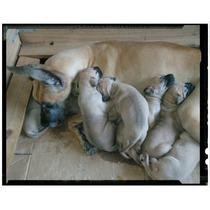 Excelentes Cachorros Gran Danes Bayos, Con Fca