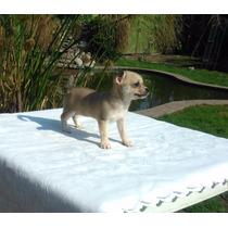 Chihuahuas H E M B R I T A S !!! Con Pedigree De Fca