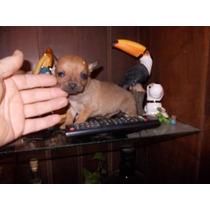 Hermoso Chihuahua Macho Super Miniatura