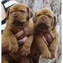 Hermosos Cachorros De Dogo De Burdeo,