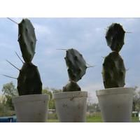 Cactus Tipo Tuna Flor Naranja Fruto Dulce Zona Norte Envíos
