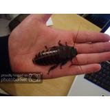 Mascota Exotica Cucaracha De Madagascar Alimento Vivo Envios