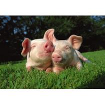 Chancho Vivo Lechon Cerdo Mascota Genetica Para Criar