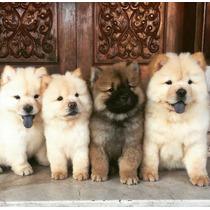 Cachorros Chow Chow! Hago Envios A Todo El Pais!