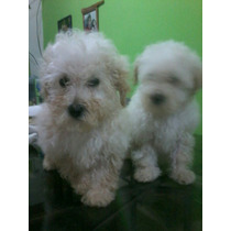 Caniches Toy Blanco Hermosos