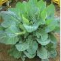 Col Manteca Portuguesa Huerta Vegetales Semillas P/ Plantas