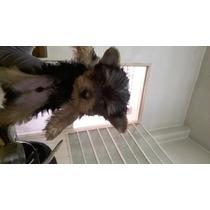 Cachorro Yorksire Terrier