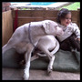 Ofertas? Cachorros Dogo Argentino, Pedigree. Ideal Seguridad<br><strong class='ch-price reputation-tooltip-price'>$ 5.000<sup>05</sup></strong>