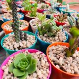 Plantines Cactus Y Suculentas Maceta N6-  Con Piedras -