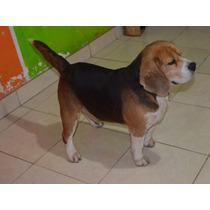 Beagles Adultos Con Fca En Lomas De Zamora