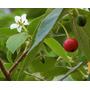 Arbol De Frutillas, Muntingia Calabura Semillas Para Plantas