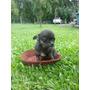Chihuahua Hembra Nacida En Noviembre Hermosa Y Bien Chiquita