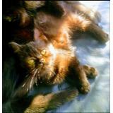 Gatito Exotico (persa Pelo Corto)