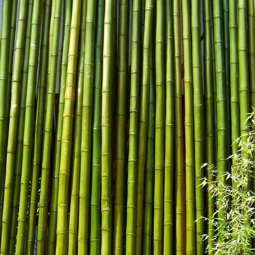 Caña Tacuara Bambu Cercos Decoración Largo 3 Metros En Venta