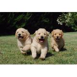 Cachorros/as Golden La Mejor Reputacion