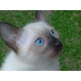 Gatitos, Gatos Siames Puros  - Libre Vif Y Vilef