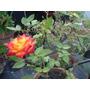 Planta Mini-rosas Fucsia/amarilla 40-45 Cm Maceta Terracota.