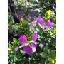 Plantas Flor Todo El Año !!! Polígala Grandiflora