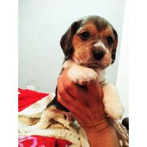 Cachorros Beagle Tricolor! Macho Y Hembra