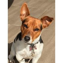 Servicio Perro Raza Jack Russel Terrier Macho