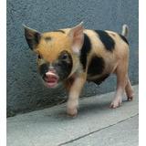 Cerditos Minipigs Mini Pig