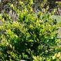 Cercos Vivos: Oleo Texano De 20 Cms. Jardín Ideal