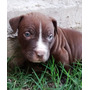 Cachorros American Pitbull Terrier Red Nose