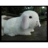 Conejos Holland Lop ( Orejas Caídas ) La Plata