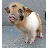 Seña Cerditos Minipigs Mini Pig