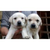Cachorros Labrador *****