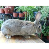 Conejos Gazapo Gigante De Flandes De Un Mes