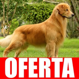Entrena A Tu  Perro Golden Retriever  Completa Actual 41
