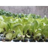 Plantines Para Huerta Otoño Invierno