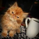 Gatos Persas Garfield Gran Linaje Perfectos Hermoso Color