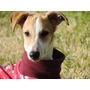 Adopción Cachorros Galgo Leer Condiciones