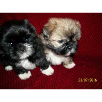 Cachorros Shitzu Mini Padres Con Papeles