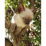 Gatitos Siameses -puros-libre De Vif Y Vilef - Pronto