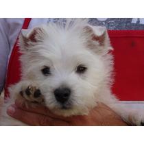 West Highland White Terrier - Westie -westy