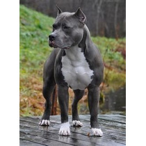 American Staffordshire Cachorros Sangre Usa Con Papeles Fca