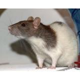 **. Ratas Americanas De 30 Dias.** Mamones, Destetes Y Mas!!