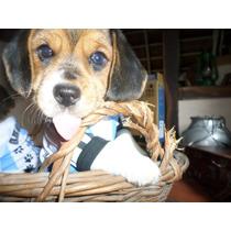Cachorra Hembra Beagle Fca Ultima !!!