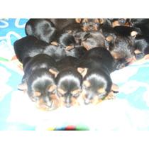 Yorkshire Terrier Machos ,los Mas Minis Del Mercado $ 7500