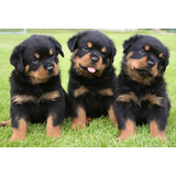 Cachorros Rottweiler Alemanes !!!