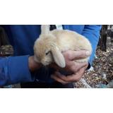 Conejos Enanos  De-orejas Caidas- Mar Del Plata