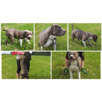 Cachorros Pitbull Blue Age Of Meka Aca Registro Chip