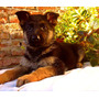 Cachorros Ovejero Aleman Excelentes!!!
