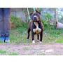 American Staffordshire Terrier Preñez Cachorro Reservas!!!!!