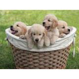 Golden Retriever Cachorros Envios A Todo El Pais!