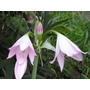 Lote 3 Plantas Bulbosas Crinum Maceta 3 Lts Martinez
