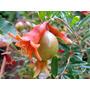 Granada De Fruta Arbusto 4l